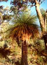 Splendid example of an Australia Blackboy Plant